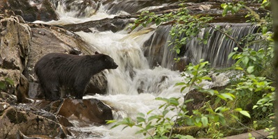 a black bear in front of a waterfall
