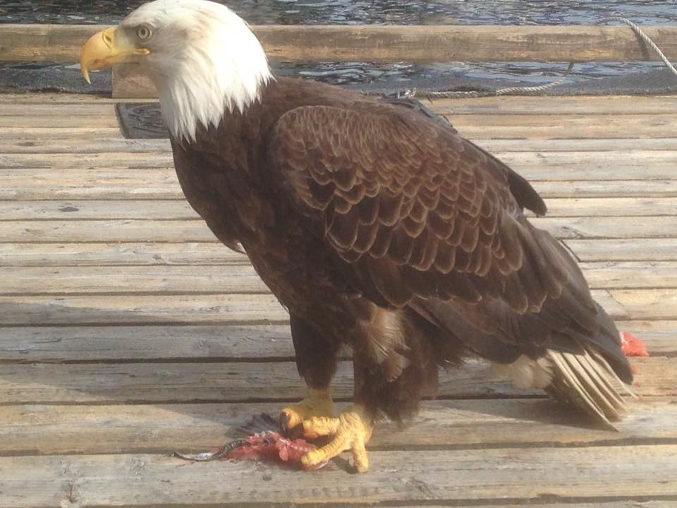 See Ketchikan's famous eagles