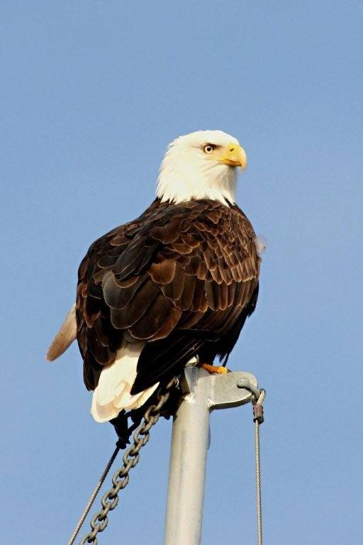 Another Eagle sitting on a mast in the harbor!