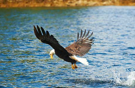 eagle coming up from water