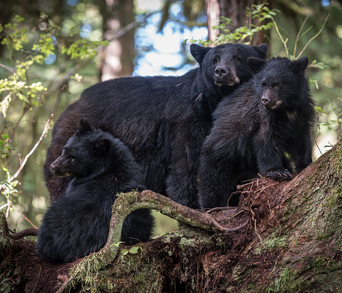 Bear viewing with Baranof Fishing