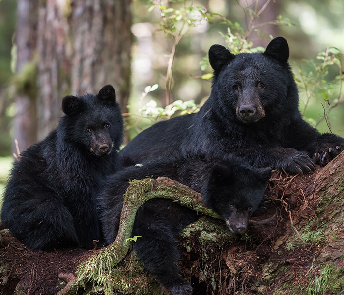 Black bear with cubs - Baranof